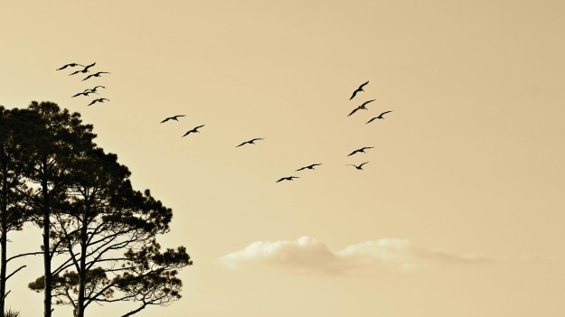 North Formation Migration Birds Flying South